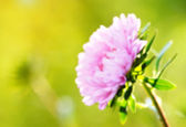 красивый розовый цветок — Стоковое фото