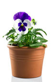 Pansy in a pot on a white background — Stock Photo