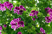 Closeup flowers and leaves periwinkle — Stock Photo