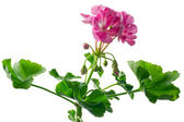 Closeup young plant of geranium, scion — Stock Photo