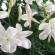 Closeup white flowers and leaves of jasmine plant — 图库照片