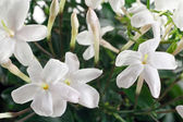 Closeup white flowers and leaves of jasmine plant — Stock Photo