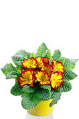 Primrose in pot on a white background — Stockfoto