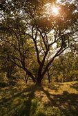 Prachtige boom met schaduw in de zonsondergang tijd — Stockfoto