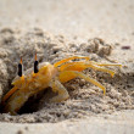 ������, ������: Shy ghost crab