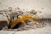 Tímido caranguejo fantasma — Foto Stock