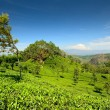 Windswept tree in tea plantation - Stock Photo
