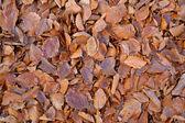 Beech leave carpet in autumn — Stock Photo