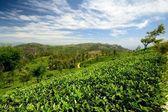 鮮やかなグリーン ティーの作物 — ストック写真