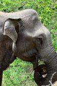 Divoký slon — Stock fotografie