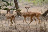 Cervo pomellato — Foto Stock