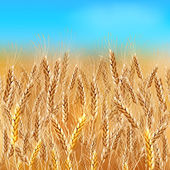 Realistic vector wheat field — Stock Vector