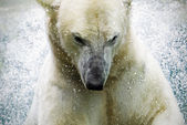 Polarbear — Stock Photo