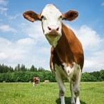 One cow — Stock Photo #16767949