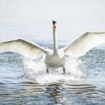 Landing mute swan — Stock Photo #16774885