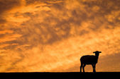 Sheep in friesland — Stock Photo