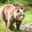 Brown bear in zoo — Stock Photo #16851479