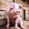 Sitting pig — Stock Photo