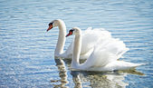 Swan couple — Stock Photo