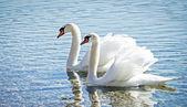 Swan couple — Stock Photo
