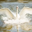 Swan - Stock Photo