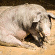 Sitting pig - Stock Photo