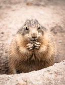 Ground hog — Stock Photo