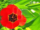 红色红色郁金香 — 图库照片