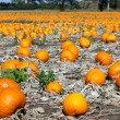 Pumpkin field — Stock Photo #15241693