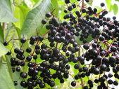 Black berries — Stock Photo