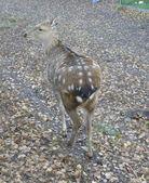 Deer in the Park — Stock Photo