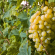 Withe grapes in vineyard — Stock Photo #17352901