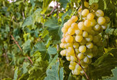 Withe grapes in vineyard — Stock Photo