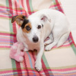 Sweet Jack  Russell on the bed — Stock Photo