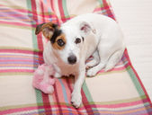 Sweet Jack Russell on the bed — Foto de Stock