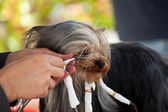 Yorkshire with hairdresser for dog — Stock Photo