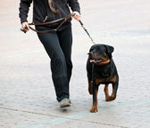 Rottweiler and master walk with a leash — 图库照片