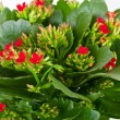 Stock Photo: Kalanchoe blossfeldianon white background