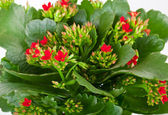 Kalanchoe blossfeldiana on a white background — Stock Photo