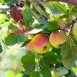 Red apples on apple tree  — Foto de Stock