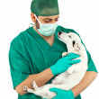 Vet examining an jack russell — Stock Photo