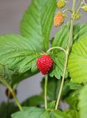 野草莓 — 图库照片