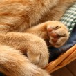 Stock Photo: Detail fingertips of red cat