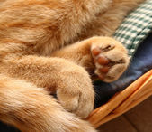 Detail fingertips of a red cat — Foto Stock