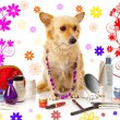 Stock Photo: Spitz dog on white background
