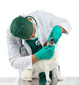 Veterinarian examines the dog's teeth — Stock Photo