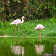 Beautiful pink flamingos — Stock Photo