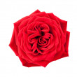 One red rose — Stock Photo
