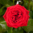 One red rose — Stock Photo #28422499