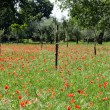 Stock Photo: Red poppies on green field